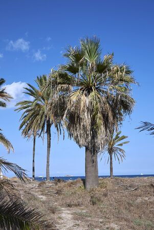 fresh fruits of Washingtonia filifera palm Banco de Imagens - 135273134
