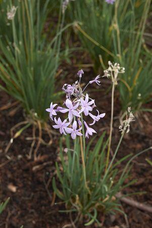 Tulbaghia violacea plants with violet flowers Banco de Imagens - 135273258