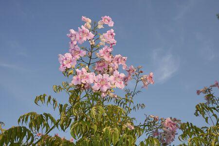 Inflorescencia rosa de Podranea ricasoliana, planta trepadora Foto de archivo