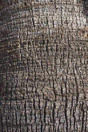 Washingtonia filifera bark close up Banco de Imagens - 135274031