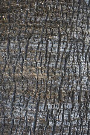 Washingtonia filifera bark close up Banco de Imagens - 135273494