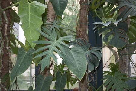 lush foliage of Philodendron plants Stock Photo