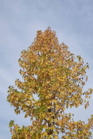 colorful foliage of Liquidambar styraciflua tree in autumn 免版税图像