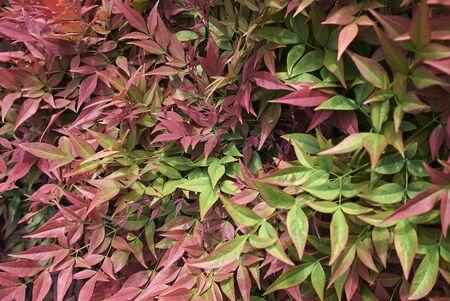 Nandina domestica colorful foliage