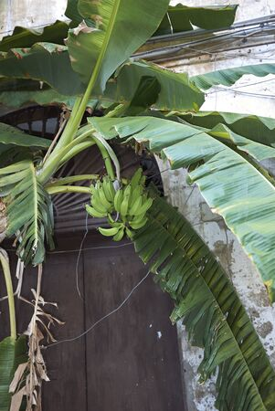 Musa plant with fresh green bananas