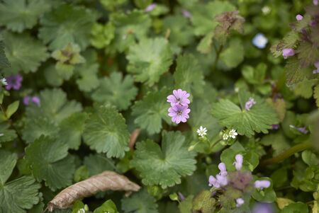fresh leaves and flowers of Geranium molle