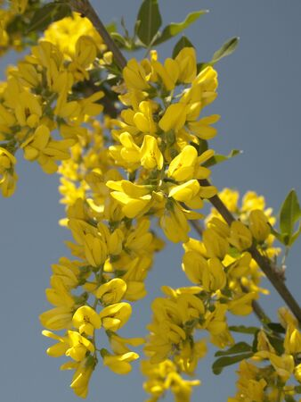 Laburnum anagyroides shrub with yellow inflorescence