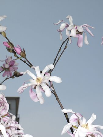 white and pink flowers of Magnolia stellata tree Banco de Imagens