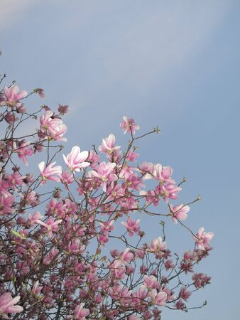 white and pink blossom of Magnolia × soulangeana tree