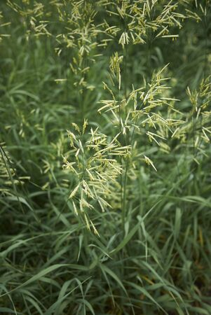Bromus inermis grass in bloom 写真素材