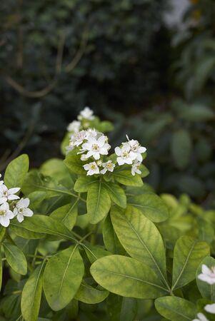 Choisya ternata shrub in bloom