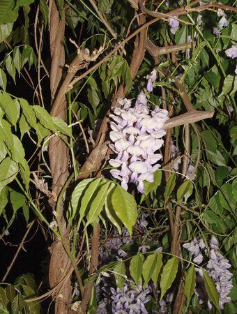 violet flowers of Wisteria sinensis  climber plant Zdjęcie Seryjne