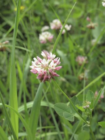 pink and white inflorescence of Trifolium repens plant