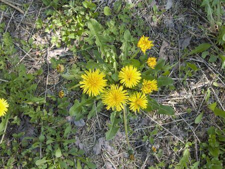 bee on Taraxacum officinale yellow flowers