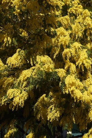 yellow blossom of Acacia dealbata plant