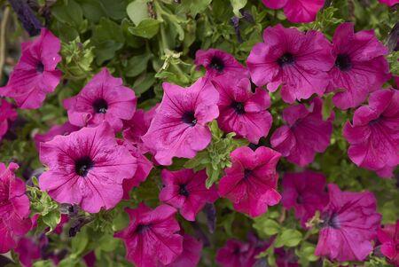Petunia × atkinsiana Standard-Bild