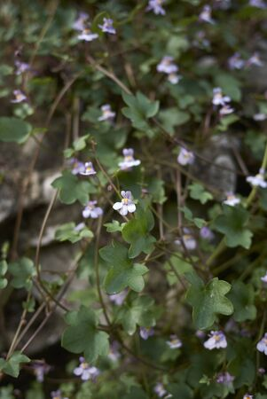 Cymbalaria muralis colorful tiny flowers