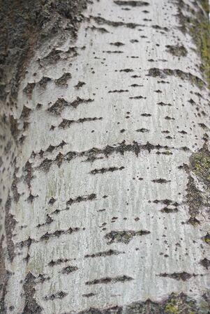Populus alba tree close up 版權商用圖片