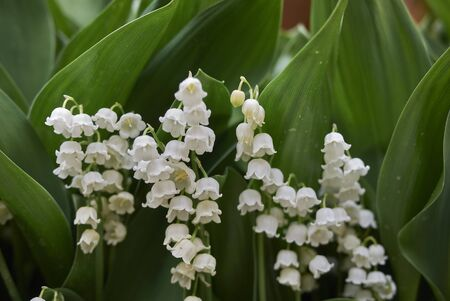 Convallaria Majalis with white fragrant flowers