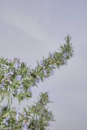 Rosmarinus officinalis blue purple flowers