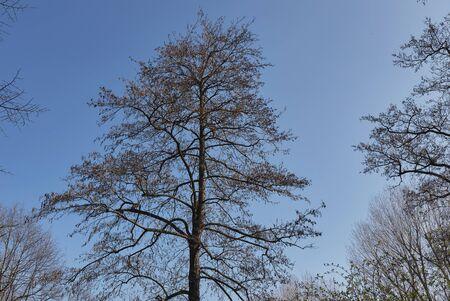 Alnus glutinosa tree