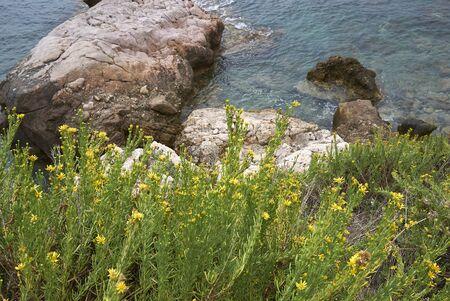 Limbarda crithmoides yellow flowers