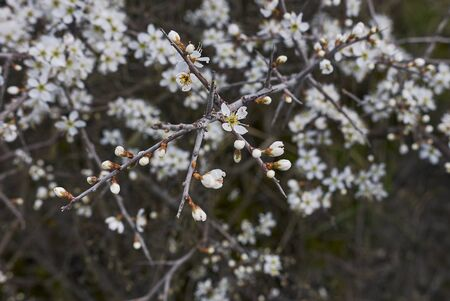 Prunus spinosa shrub in bloom