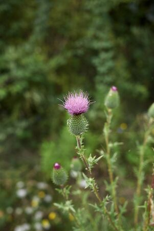 Cirsium vulgare with purple flowers