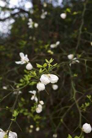 Poncirus trifoliata branch with white flower