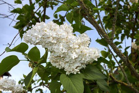 Syringa vulgaris branch with white flowers