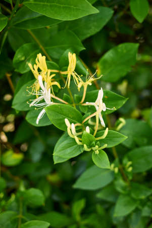 White and orange flowers of lonicera japonica