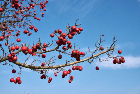 Crataegus monogyna branch with red fruit