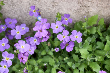 Aubrieta deltoidea with purple and blue flowers Banco de Imagens