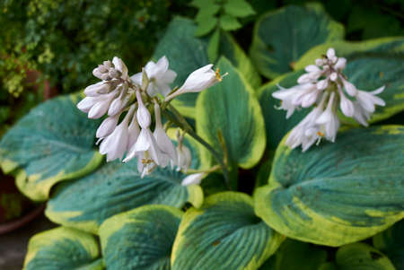 Hosta sieboldiana close up with white flowers Stock fotó