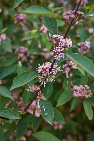Callicarpa bodinieri shrub in bloom