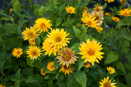 Heliopsis helianthoides with bright yellow flowers