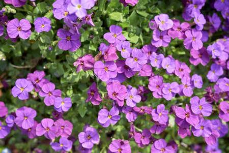 Aubrieta deltoidea with purple and blue flowers Stock fotó