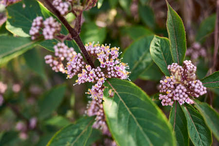 Callicarpa bodinieri shrub in bloom