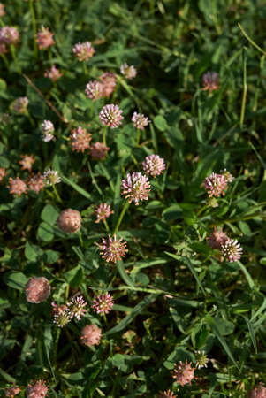 Trifolium fragiferum pink and brown inflorescence Banco de Imagens