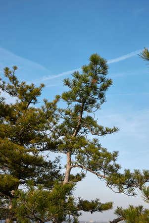 Pinus nigra trees landscape and close up Banco de Imagens
