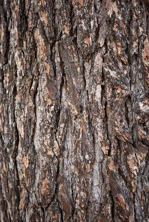 Cedrus deodara trees in a public park