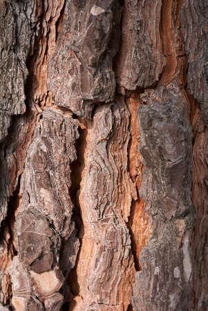 coniferous bark close up