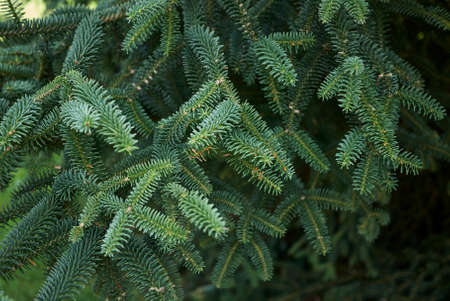 Abies pinsapo textured foliage Banco de Imagens