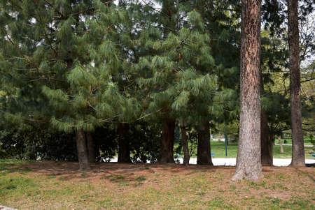 Pinus wallichiana trees landscape and branch close up