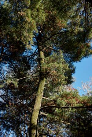 Pinus strobus branch, cones and bark close up