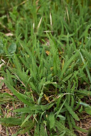Achillea millefolium fresh leaves Banco de Imagens