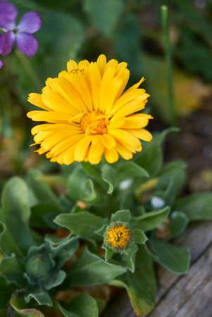 Calendula officinalis orange flowers