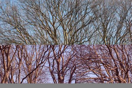 Celtis australis tree in winter