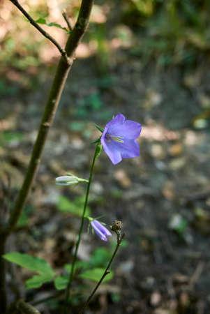 Campanula persicifolia purple blue inflorescence