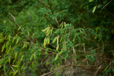 Cytisus sessilifolius branch with fresh fruit